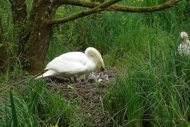 Swan on nest - Co. Kildare