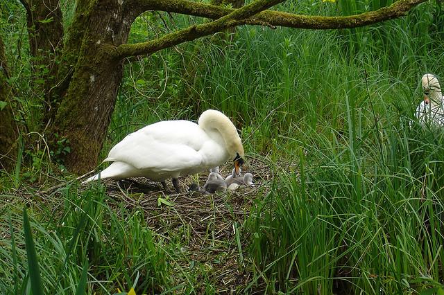 Swan on nest - Co. Kildare