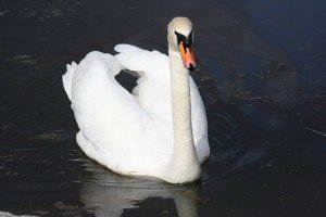 Galway Swan