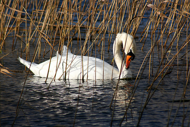 Swan in the rushes