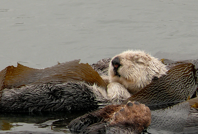 otter and seaweed