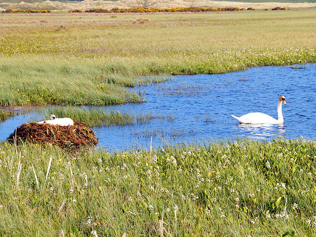 Sligo swan on nest