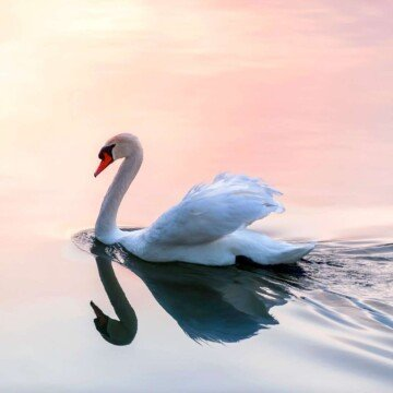 A white swan swimming on water with a pinkish hue