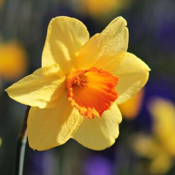 A daffodil with an orange central trumpet