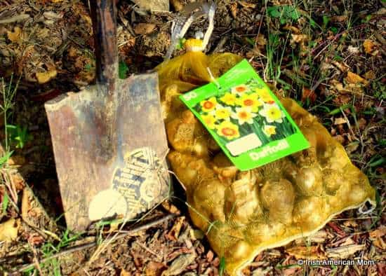 Bag of daffodil bulbs and shovel