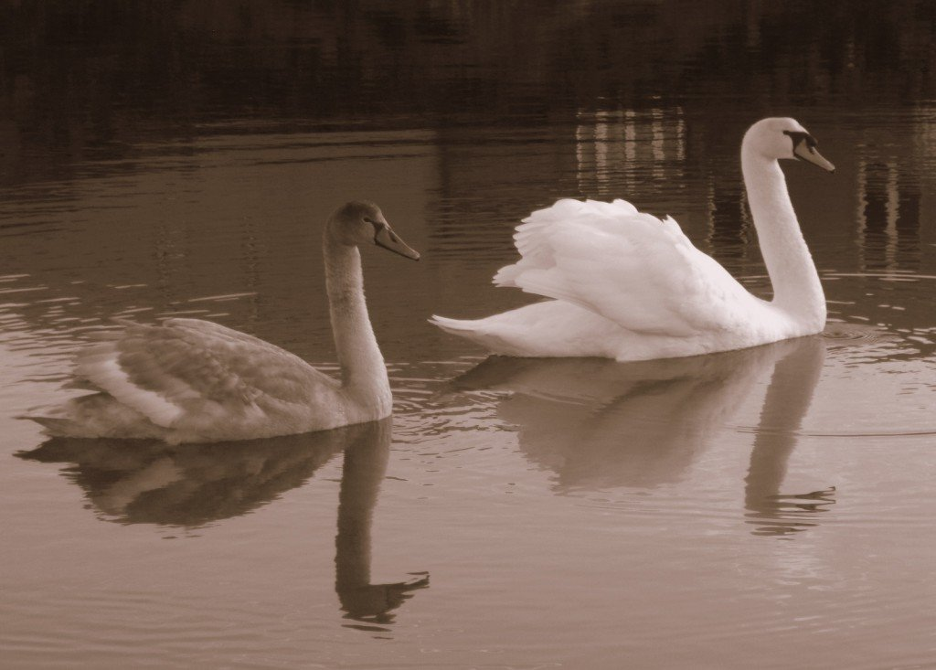 Mother swan and baby