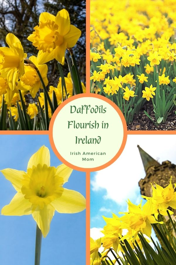 Daffodils in a four picture collage