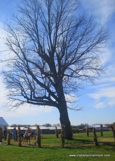 Pony rides by the tree in fall - Gallrein Farms Shelbyville Kentucky