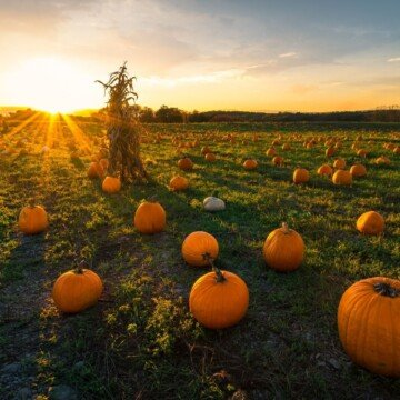 pumpkins in a field at sunset