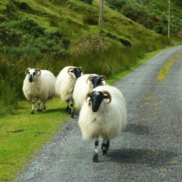 Sheep wandering along the side of a road