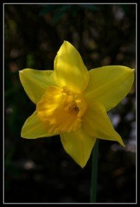 A daffodil bloom