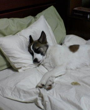 A dog with his head on a pillow in bed