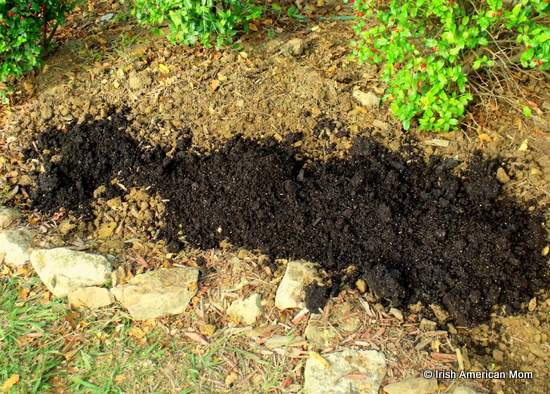 compost to cover newly planted daffodil bulbs