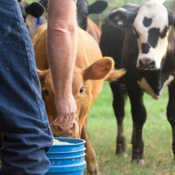 A farmer's hand holding a blue bucket of food as two cows stare at the pail