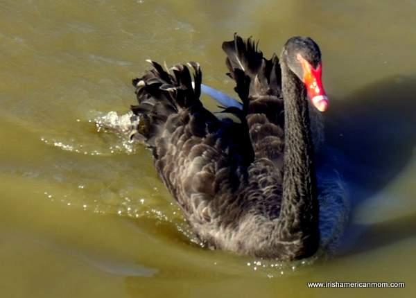 Black Swan at Henry's Ark, Kentucky