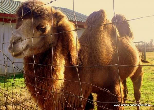 Camel at Henry's Ark