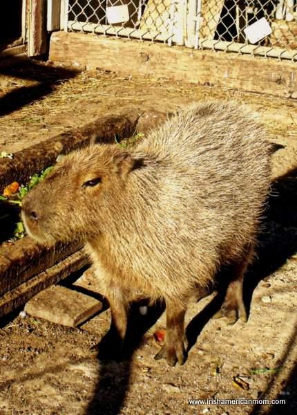 Capibara at Henry's Ark