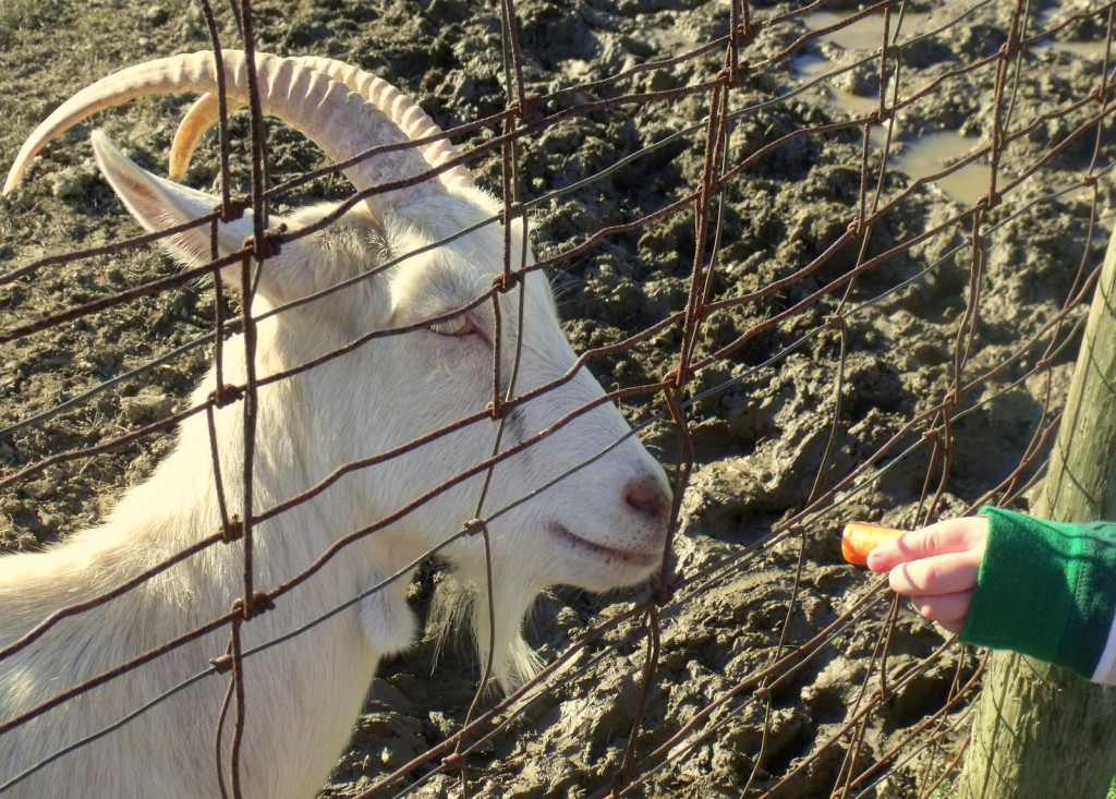 Carrots for the goats