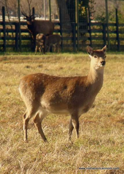 Deer at Henry's Ark