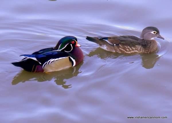 Ducks at Henry's Ark