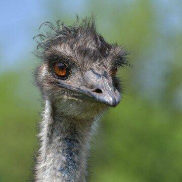 Head shot of an emu