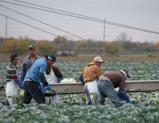 Migrant Workers Harvesting Crops