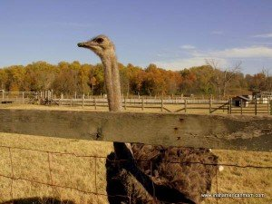 An ostrich looking over a fence