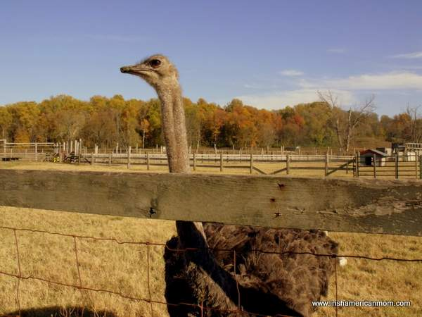 Ostrich at Henry's Ark