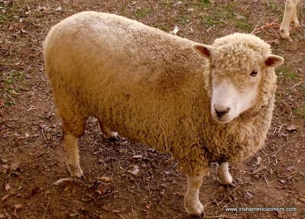 Sheep at Henry's Ark