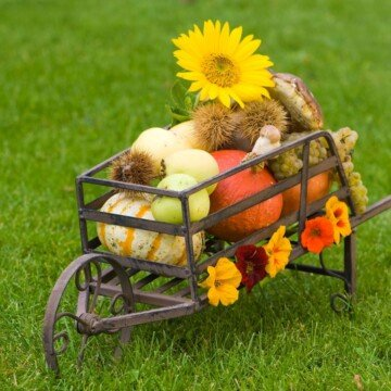 Fall fruits and produce in a metal wheelbarrow in a field of grass