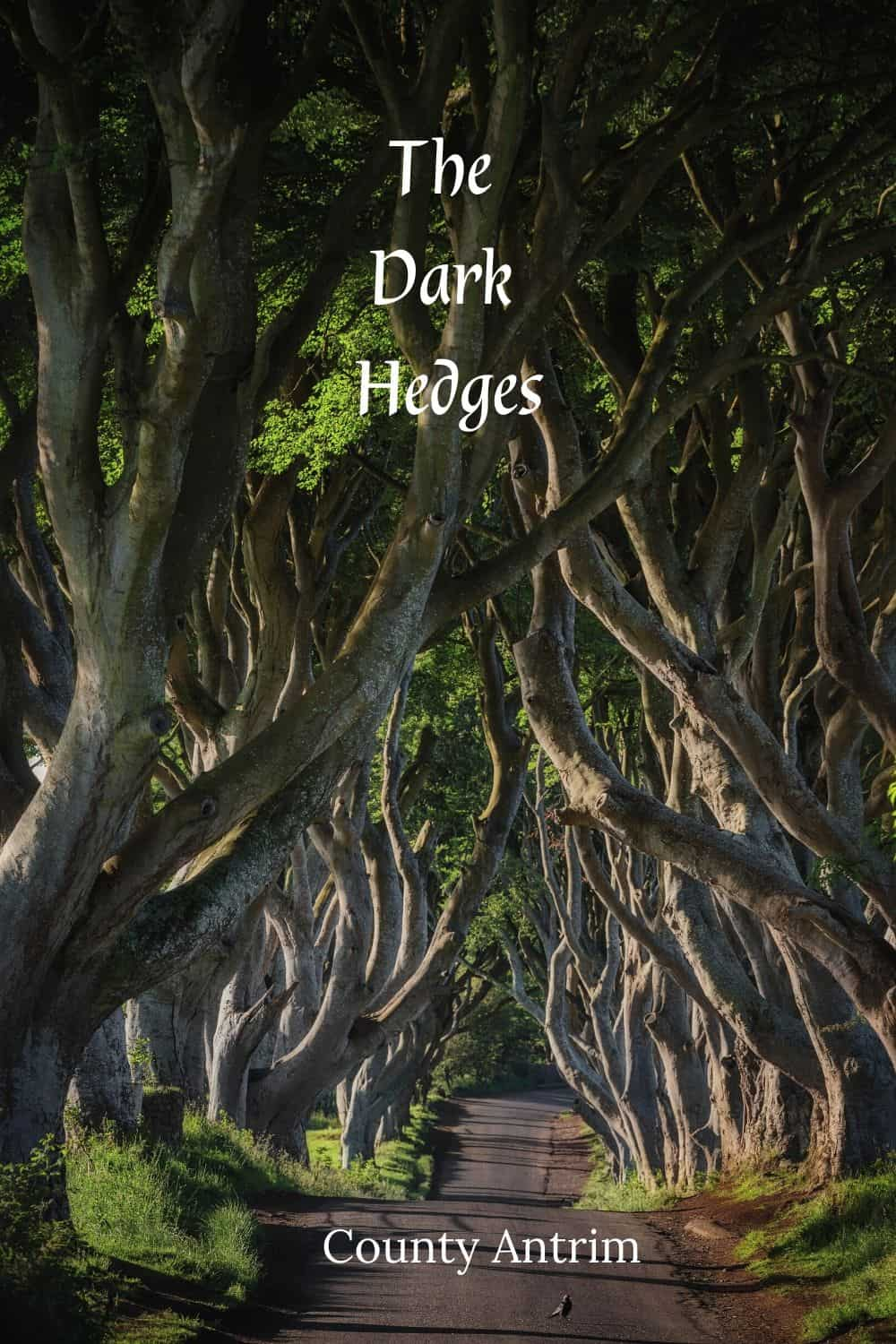 The Dark Hedges provide a cover of trees over and Irish road