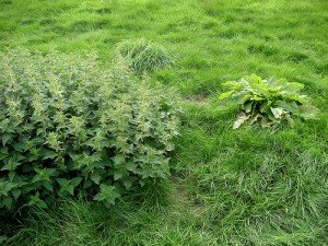 Nettles growing in a field beside a large dock plant
