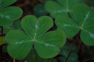 A three leafed clover with rain drops