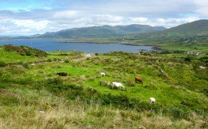 Cattle in a field by the ocean on the Beara peninsula in County Cork