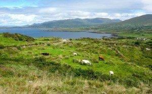 Cattle in a field by the ocean on the Beara peninsula in County Cork