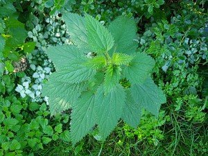 Close up view of a stinging nettle