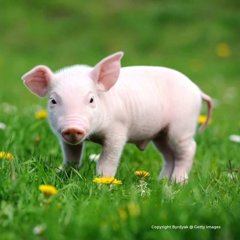 A piglet in a green field with dandelions