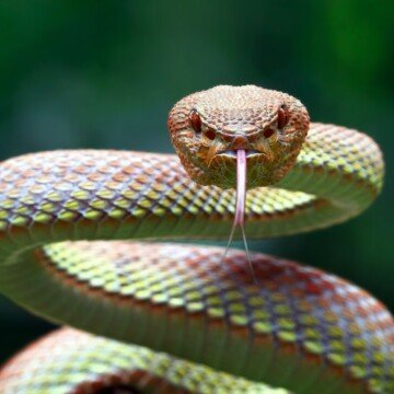 A winding snake looking at the camera with his tongue s