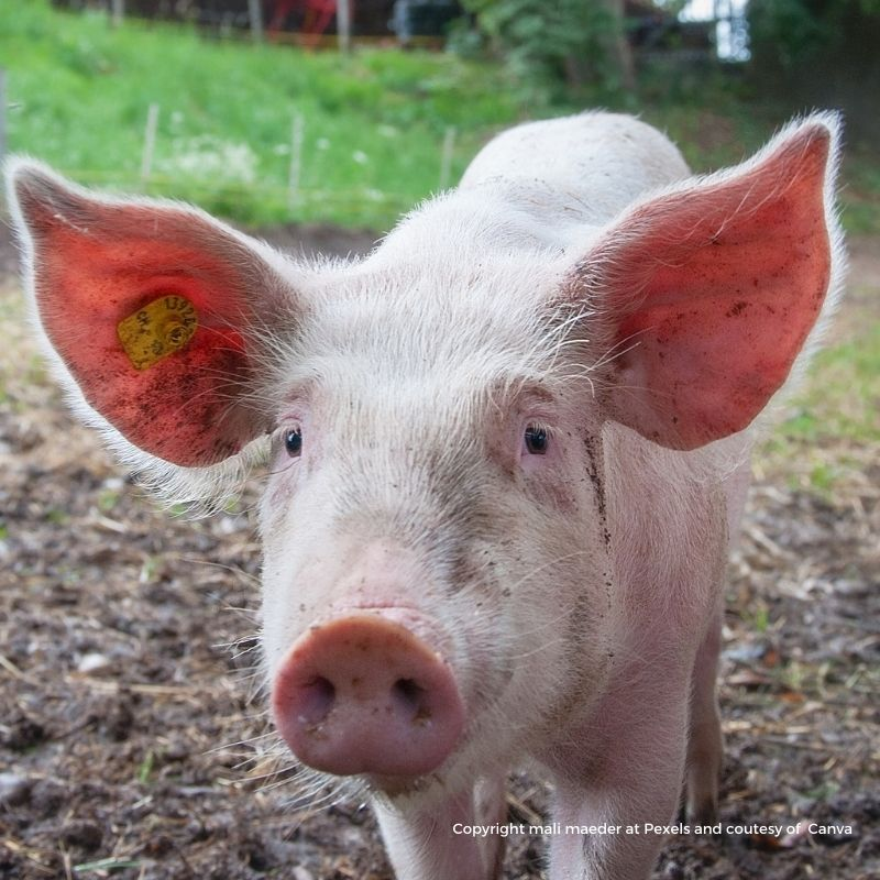 Face shot of a pig with large pointed ears