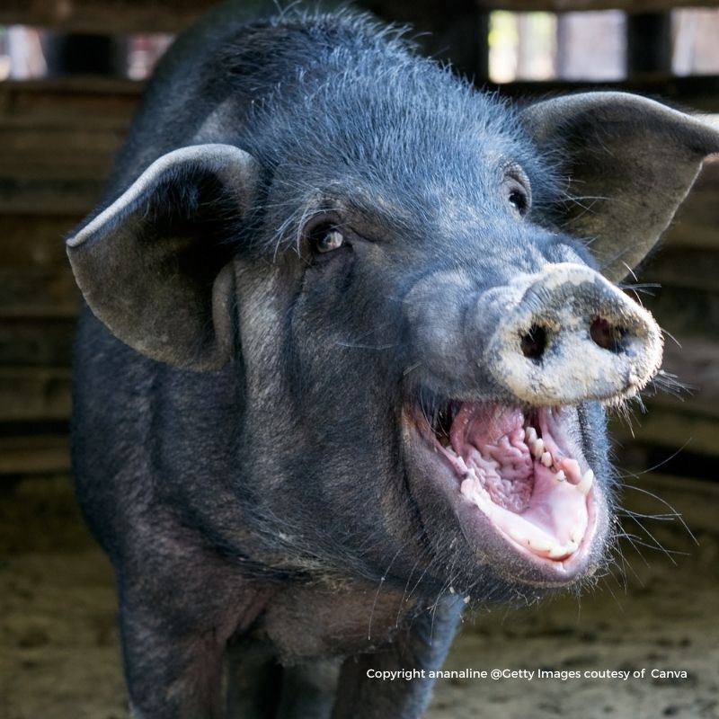 A black pig with open mouth