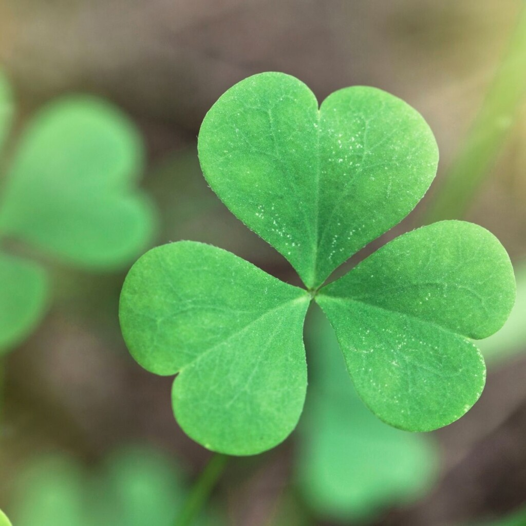 A three leafed green shamrock with other shamrocks in the background