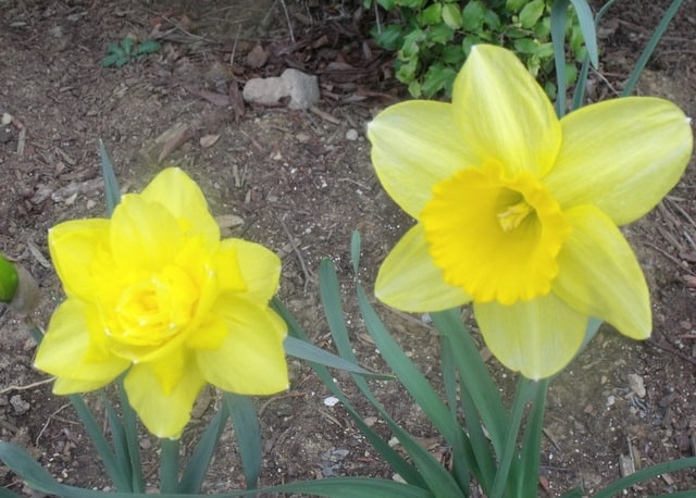 Daffodil beside a daffodil like flower with a central cluster of petals