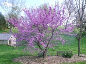 A reddish purple blossom on a Kentucky tree in spring