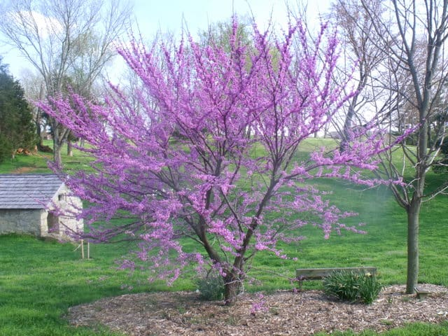 A tree with pink flowers in a field