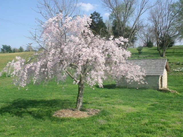 A cherry blossom in bloom