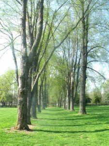 An avenue of trees with buds on branches