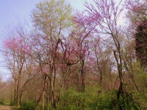 Purple hues on budding trees in spring