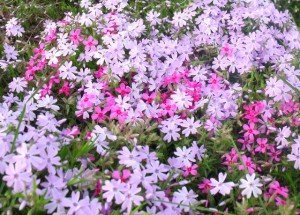 Purple and pink flowers of spring