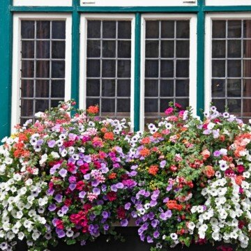 Colorful flowers growing beneath a green and white multi paneled window