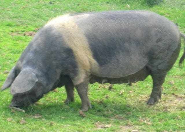 a black and white pig in a green field